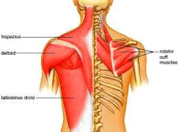 shoulder-blade