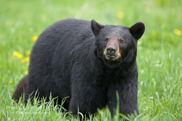 ursus-americanus-american-black-bear-photo-18744-226676